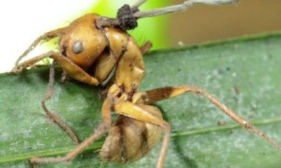 """""""Zombie"""" ants fall victim to mind-control fungus"""
