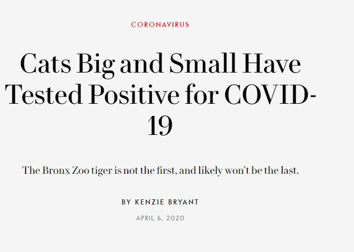 """2020 05 26 17 10 30 Cats Big and Small Have Tested Positive for COVID 19 Vanity Fair The Simpsons' Clip About a """"Cat Flu"""" Was Incredibly Prophetic"""